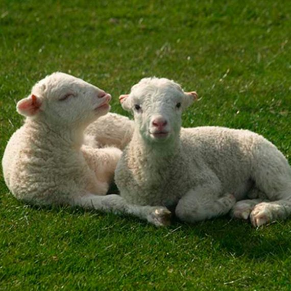 вівці_MULTIZOO_будні_дорослий і двоє дітей_03
